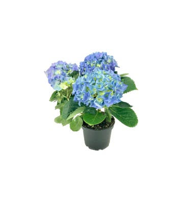 Μπλε Ορτανσία